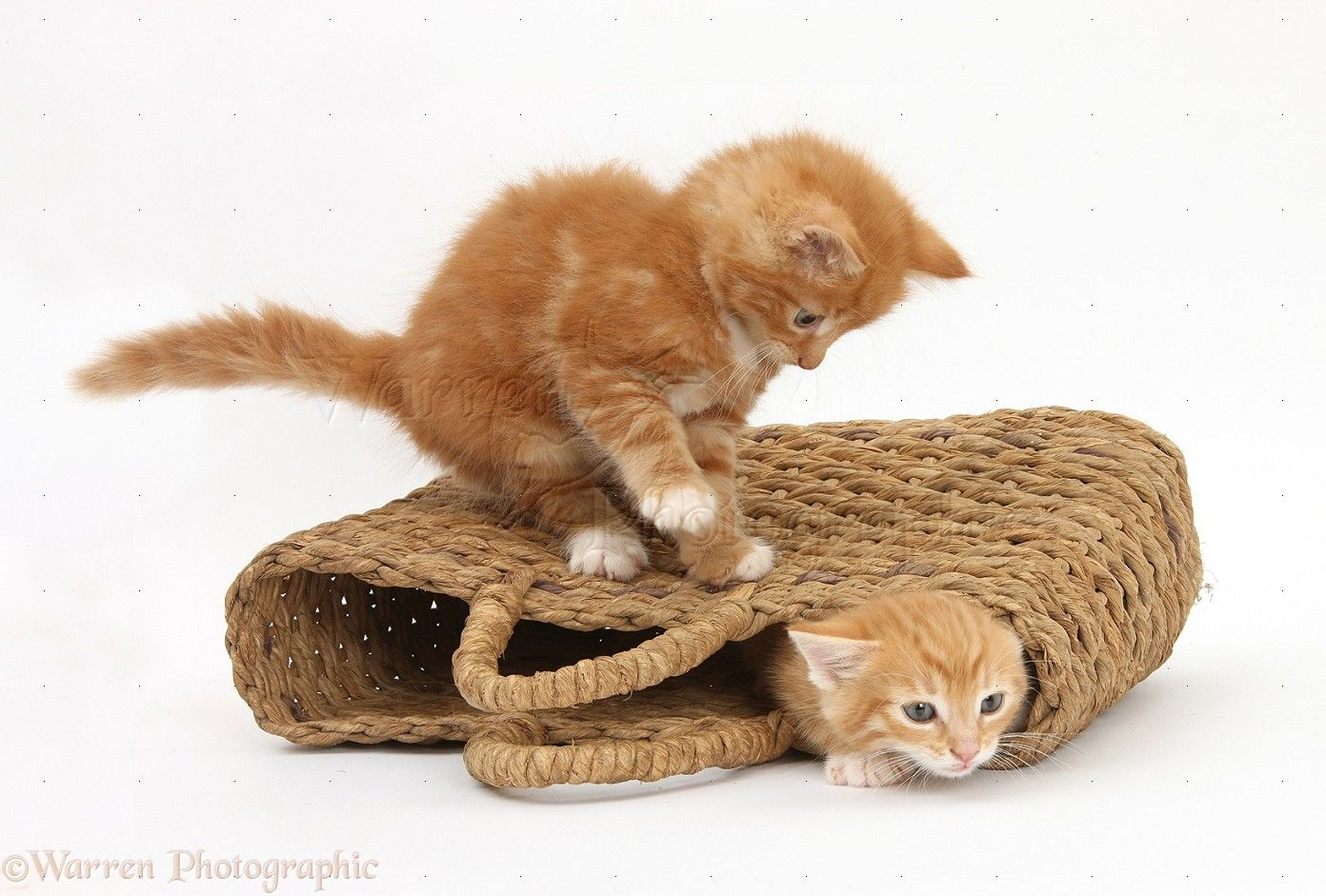 Ginger Kittens Playing In A Raffia Bag Photo Ginger Kitten Kittens Playing Kittens