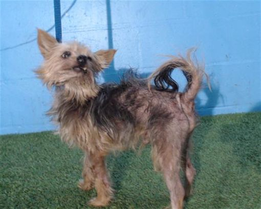 Orlando Fl Yorkie Yorkshire Terrier Meet Cosmo A Pet For Adoption Yorkshire Terrier Yorkie Yorkshire Terrier Yorkie