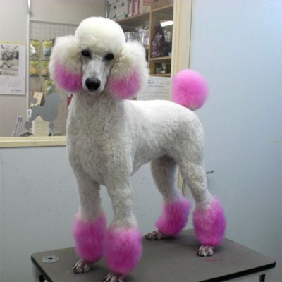 Pink Mini Poodle Mini Poodles Pink Dog Pet Grooming