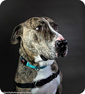 Seattle Wa Great Dane Mix Meet Toby A Dog For Adoption