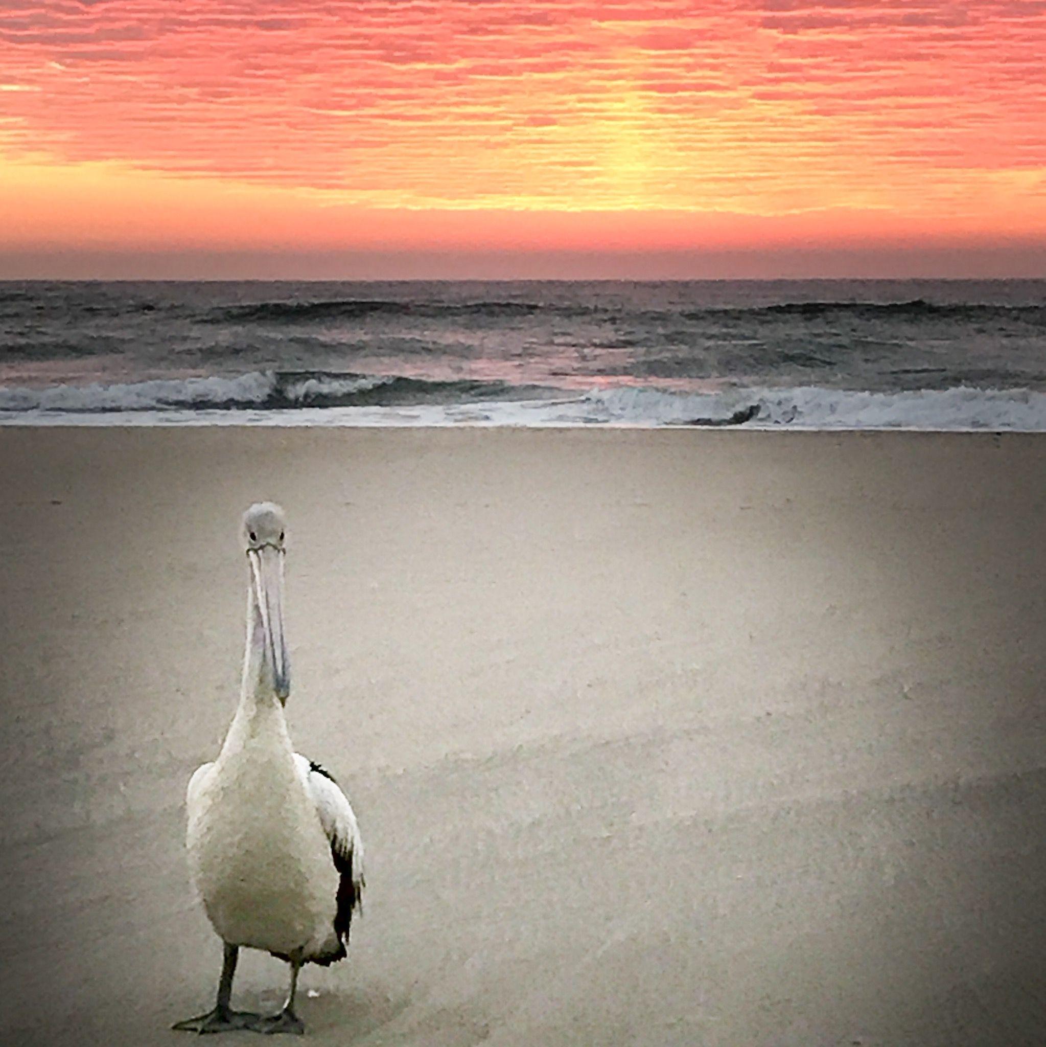 Good Morning Mr Pelican. #sunrise #pelican #beachwalk
