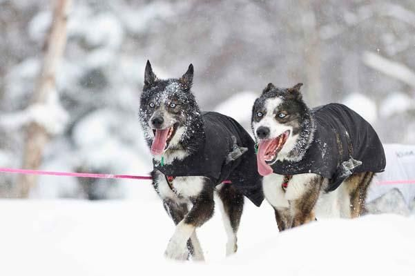 Lead Dogs At The 40th Iditarod Trail Sled Dog Race In Anchorage