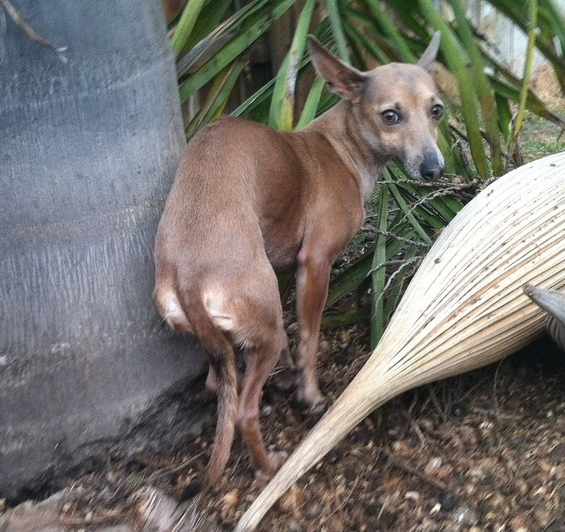 Adopt Carmella On Petfinder Italian Greyhound Dog Grey Hound Dog Italian Greyhound Rescue