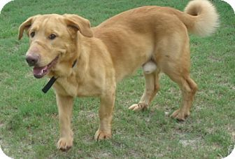 Pin By T Napo On Adoptable Golden Retrievers Basset Hound Mix