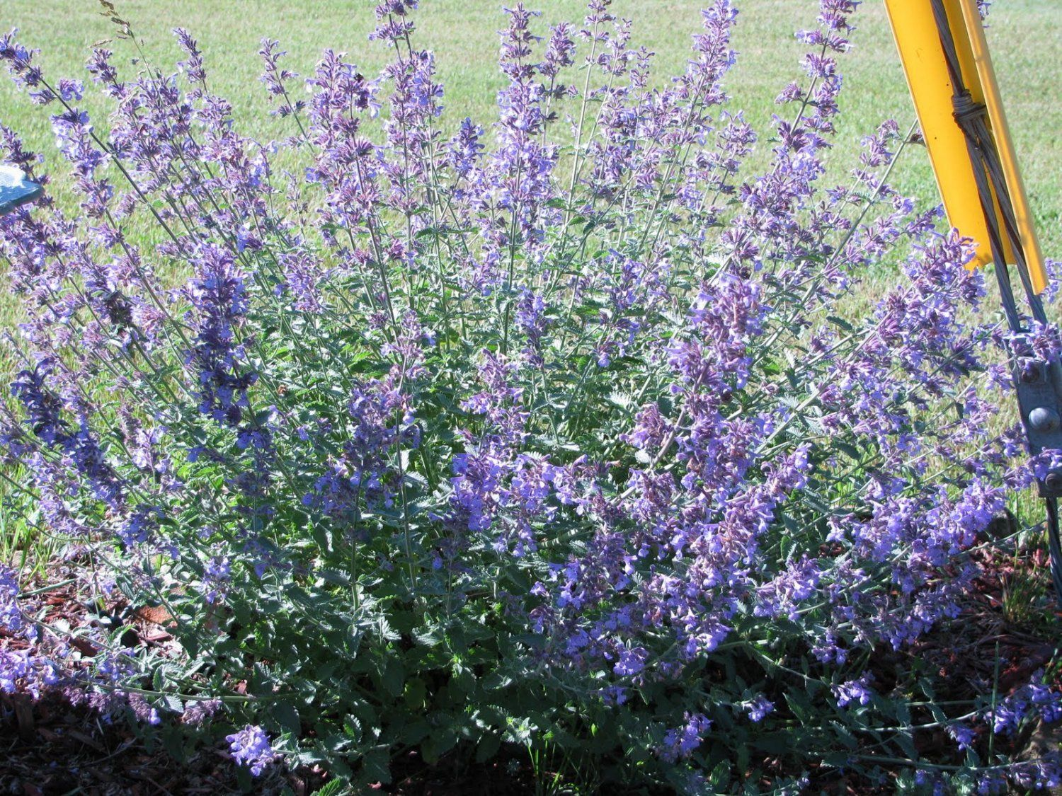 Catnip (Nepeta Cataria) Herb Seeds,Both the flowers and