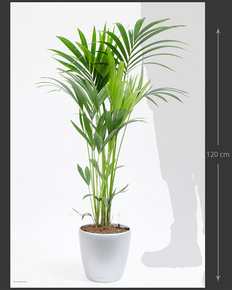 Howea forsteriana Kentia Palm House of Plants Kentia