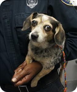 Pin By Diane Litter On Adopt Pets Beagle Mix Chihuahua Mix
