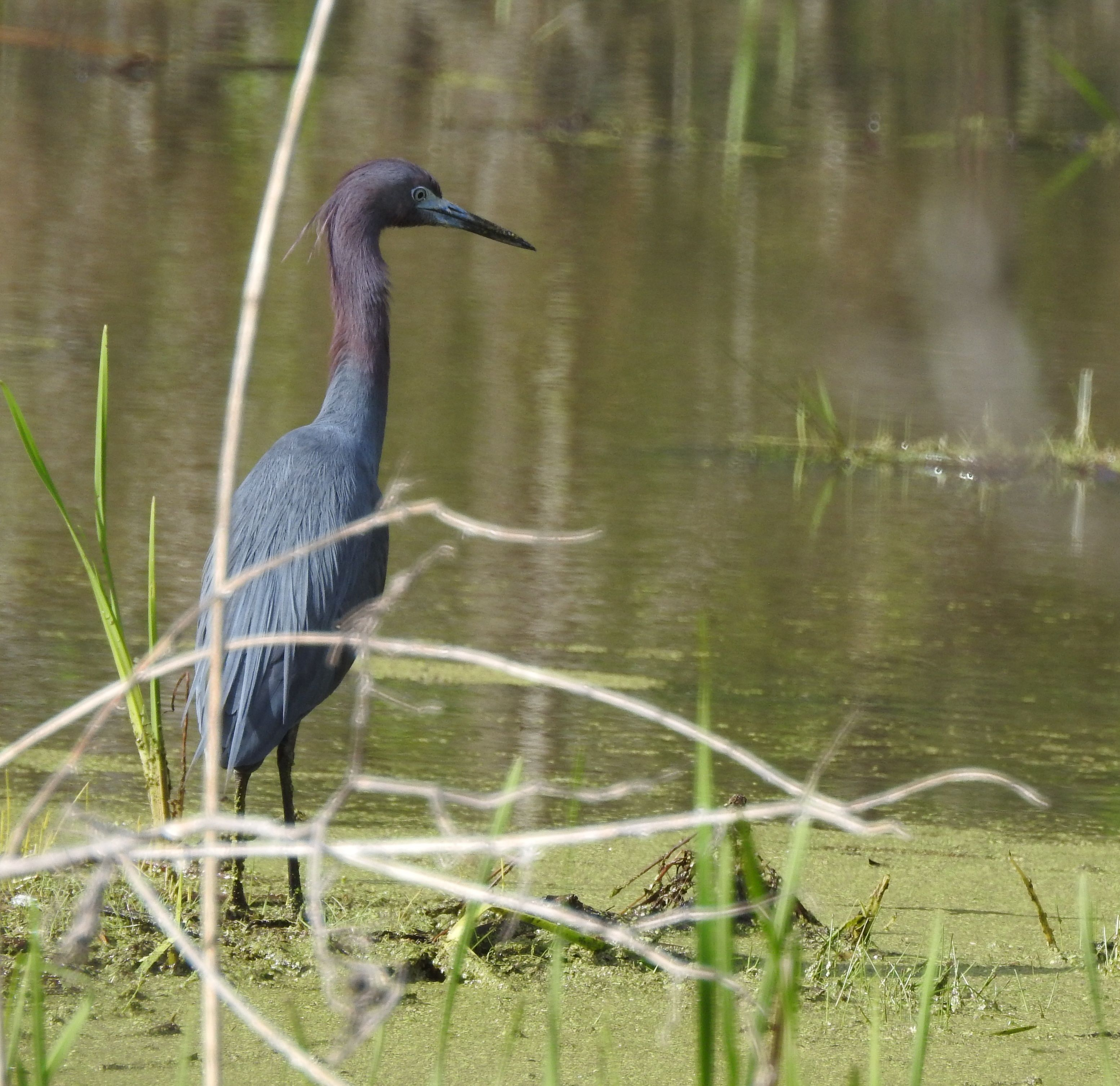 Little Blue Heron May 2 By Ken Groezinger