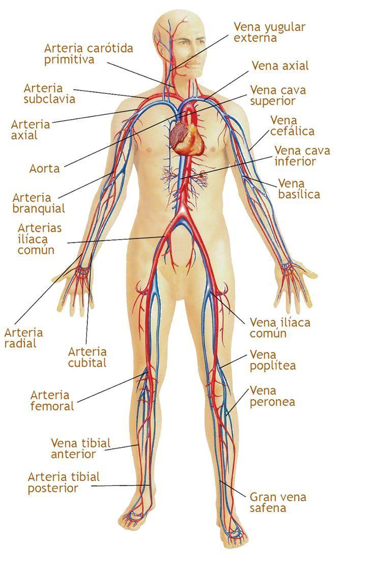 19dea84ef6c4 | musica | Pinterest | Sistema circulatorio ...