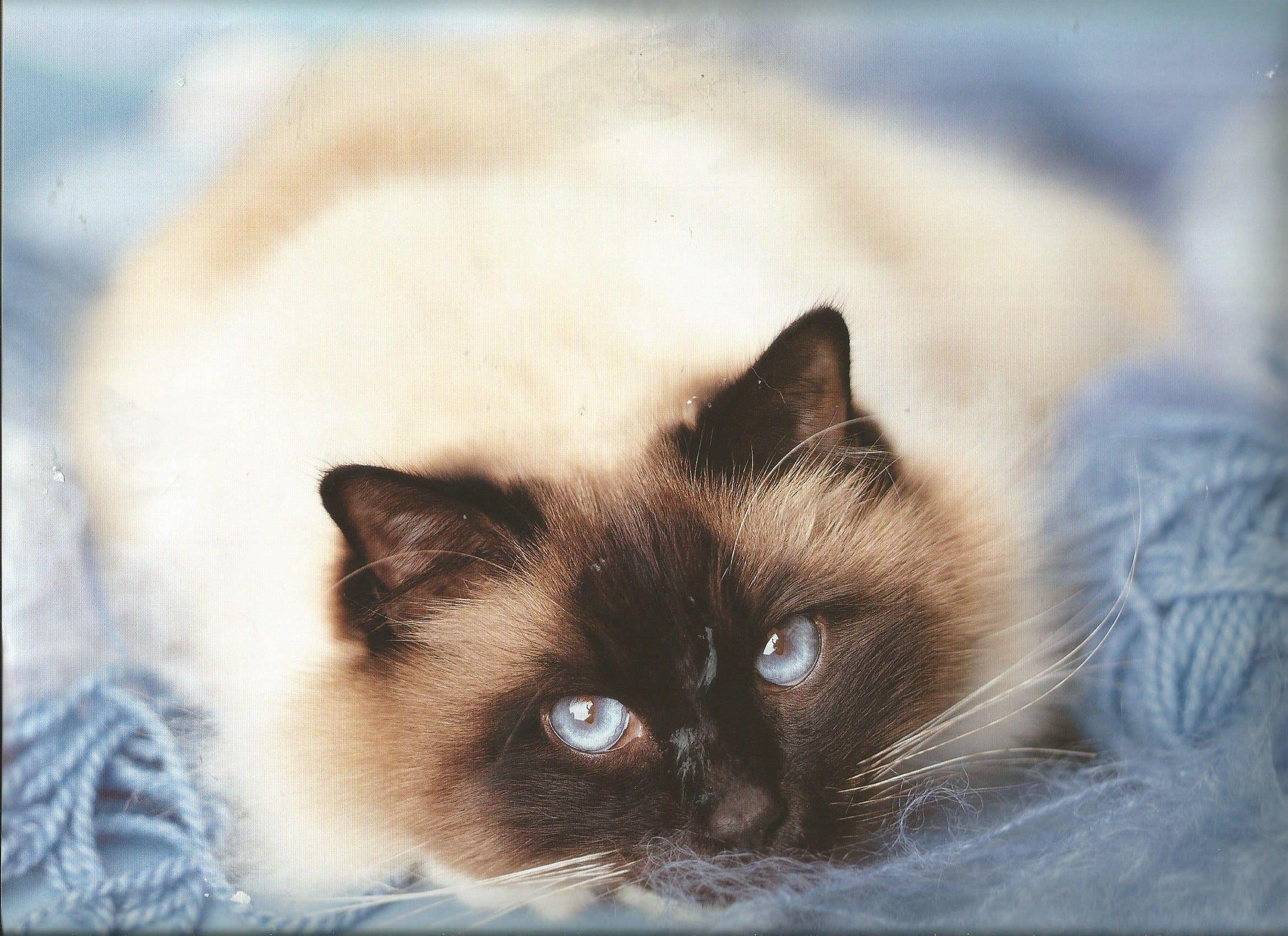 Pin by Deanna Hughes on Cats & Kittens Birman cat, Cat