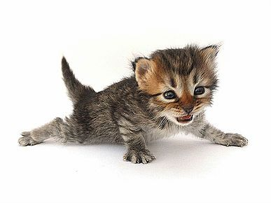 Hypoallergenic Cats Siberian Cat Breeders Kittens Litter D Siberian Cat Breeders Siberian Cat Cats And Kittens