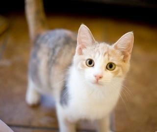 Adopt Hannah On Petfinder Kitten Adoption Pets Super Cute Animals