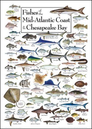 Fishes Of The Mid Atlantic Coast Chesapeake Bay Ocean Fishing Boats Kayak
