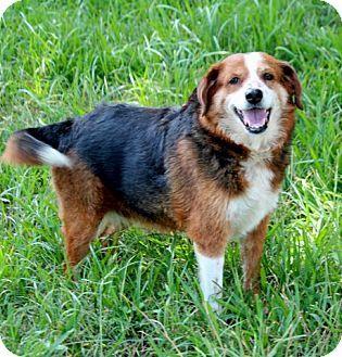 Ann Arbor Mi Beagle Shepherd Unknown Type Mix Meet A Ada