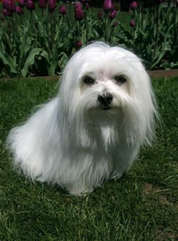 Maltese Dog Breed Maltese Dogs Maltese Dog Breed Dog Breeds