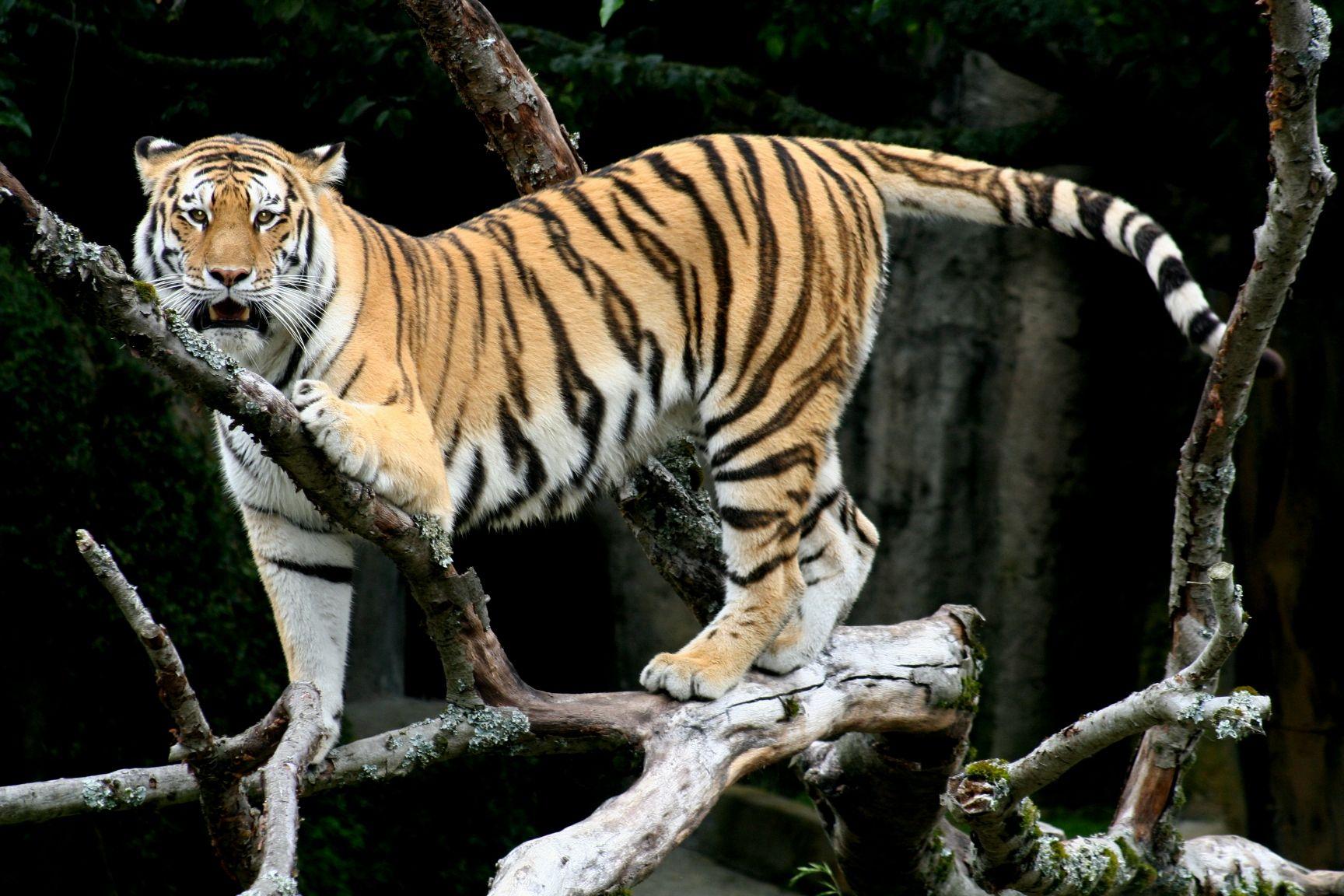Siberian Tiger Tigre siberiano, Tigre de pelucia e