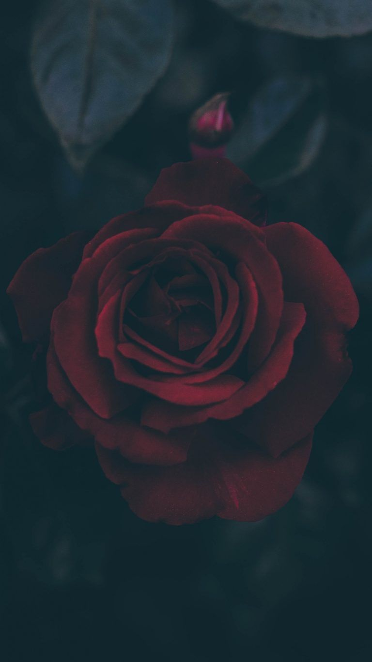 Rose Bud Dark Leaves Wallpaper - [1440x2560] from setaswall.com