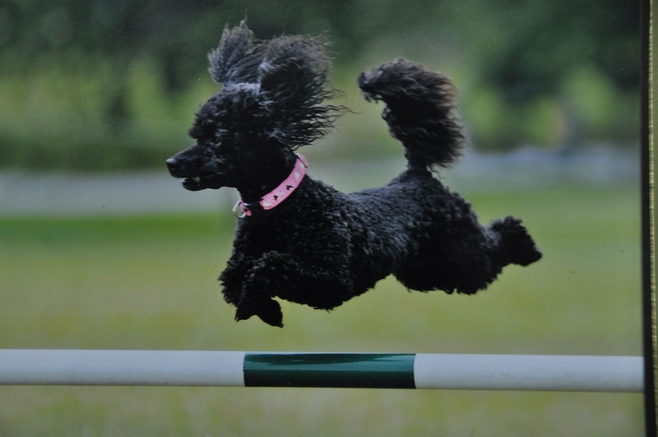 Agility Assistance Videos With Images Poodle Assistance Dog