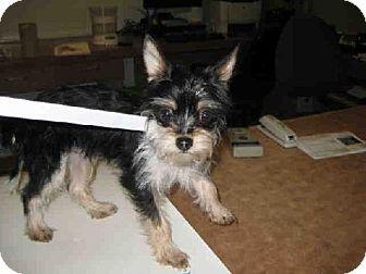 San Jose, CA - Yorkie, Yorkshire Terrier  Meet $ a Dog for Adoption