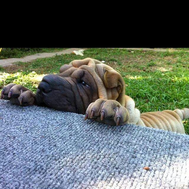 Sharpei Shar Pei Dog Shar Pei Puppies Puppies
