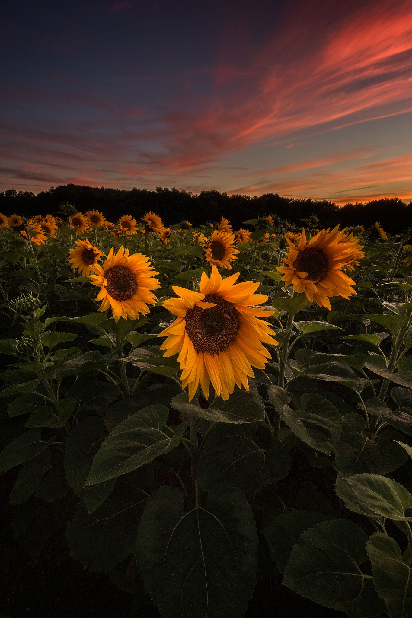 Sunflowers - ... (With images) | Sunflower wallpaper ...