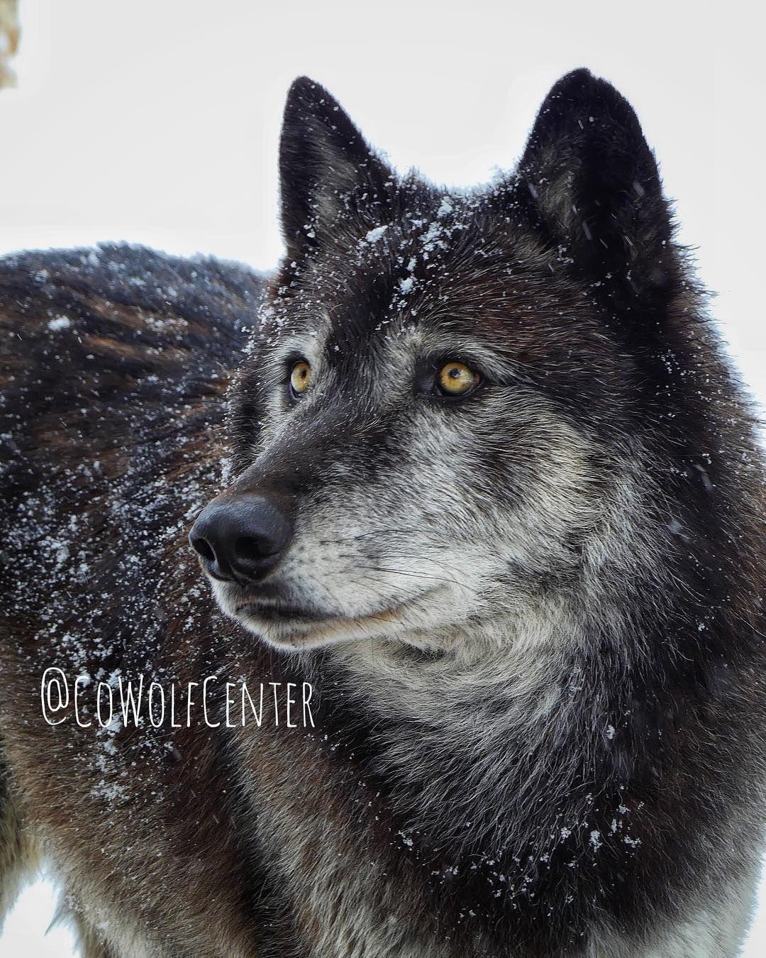 From the StarTribun Tribune, Wildlife, Wolf