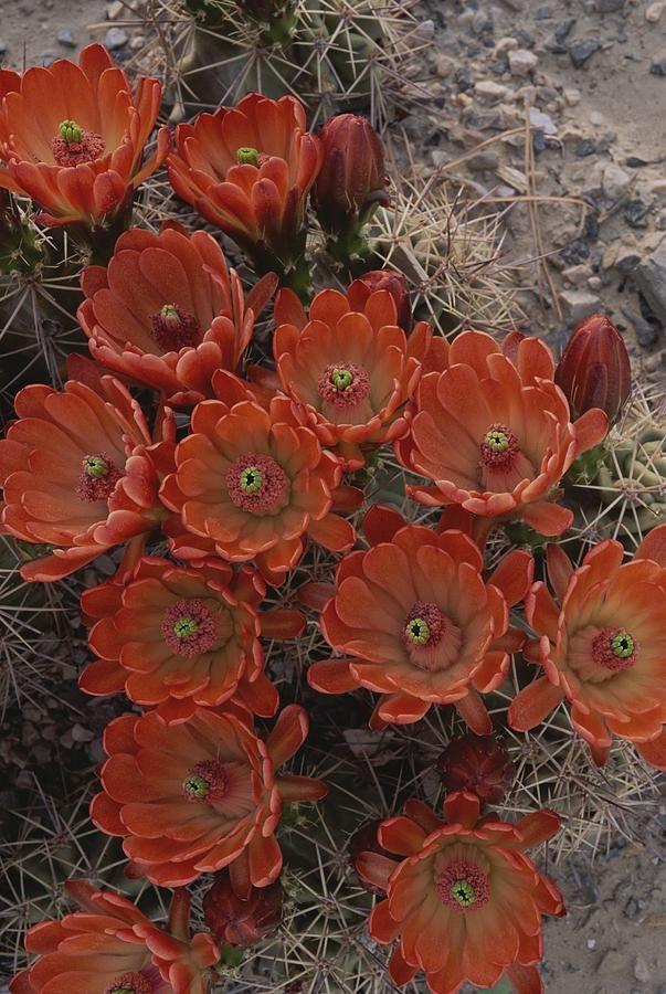 ✭ Claret Cup Cactus Flowers