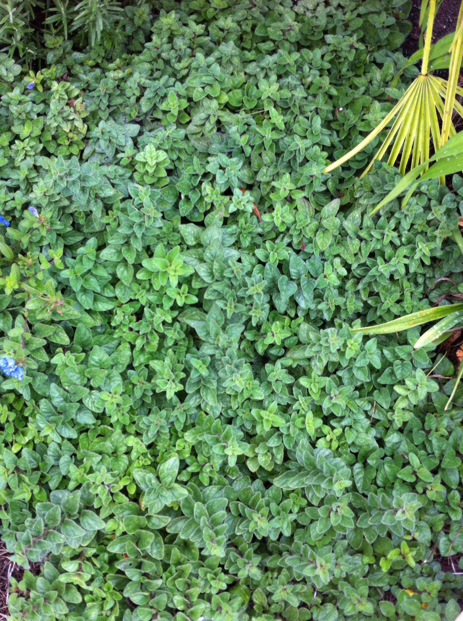 Oregano Is Perennial In Central Florida I Love It As A