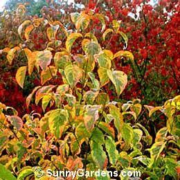 Cornus Florida Eastern Dogwood Flowering Dogwood Eastern Flowering Dogwood Small Trees Trees And Shrubs Garden Club
