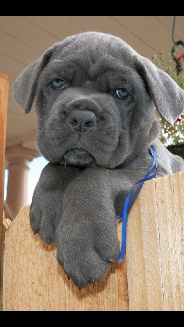 Cane Corso Love The Blue Silver Maybe This Will Be 3 Lol