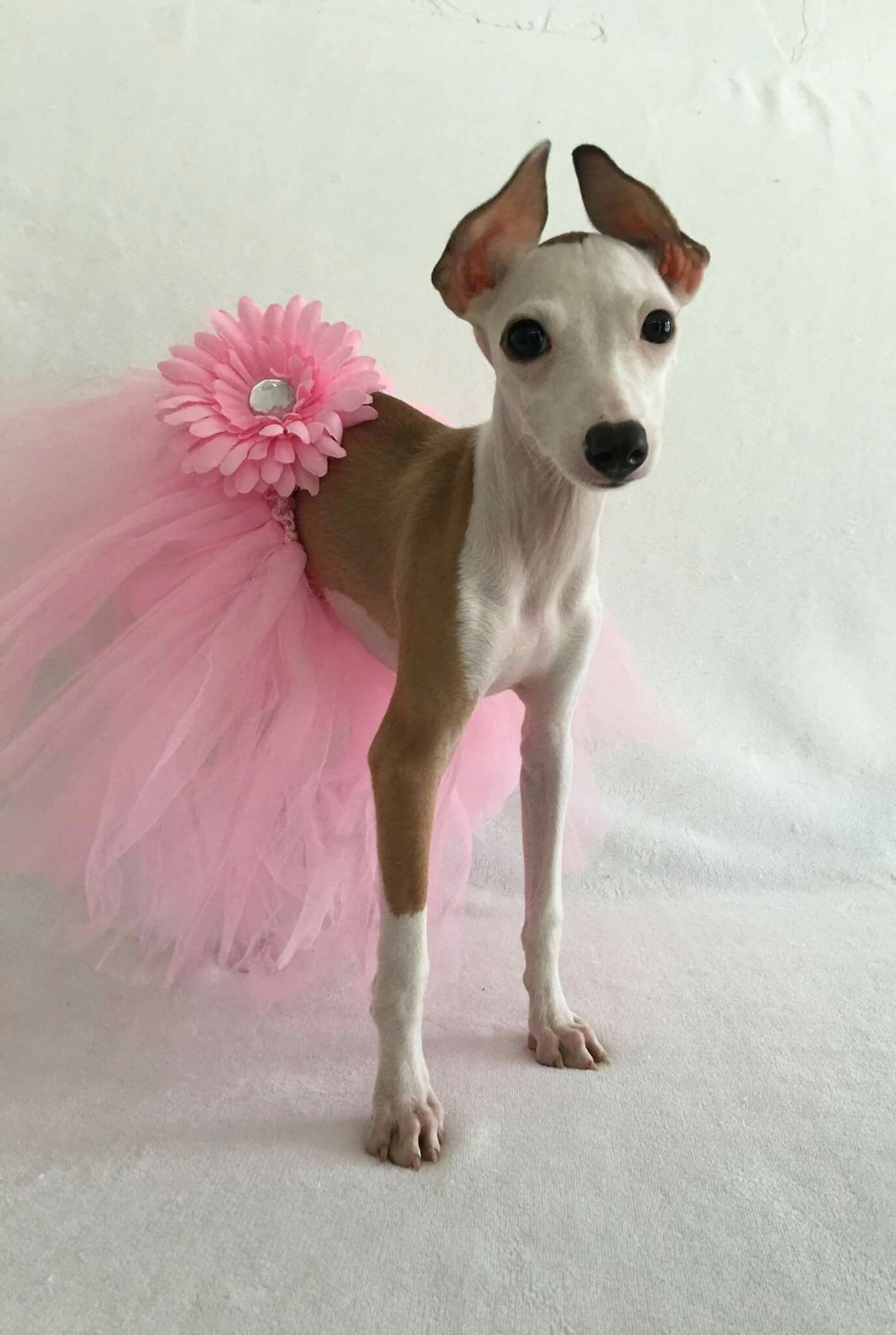 Meet America the beautiful Italian Greyhound | Cute Igy Stuff ...