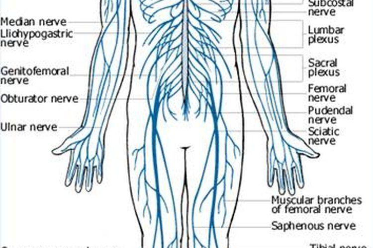 Anatomía básica del cuerpo humano   primeros auxilió   Pinterest ...