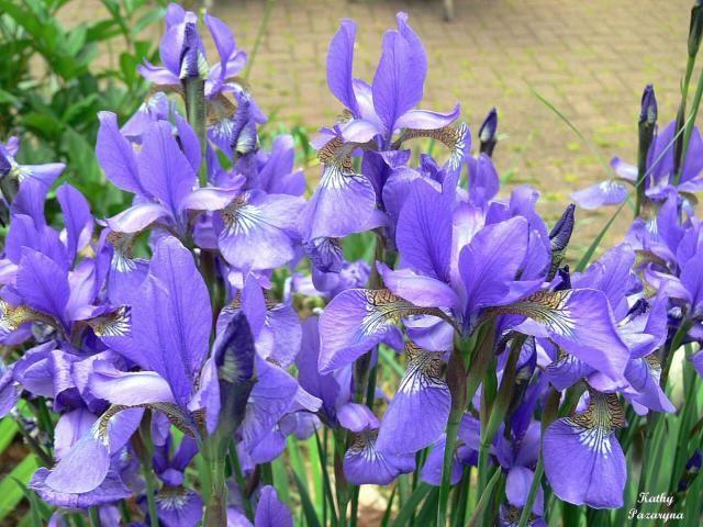 Field Of Blue Flowers Blue Iris Flowers Field Jpg Iris Flowers Blue Iris Flowers Iris Flower Pictures