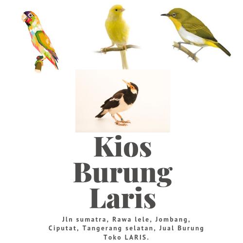 Jual Berbagai Burung Toko Burung Laris Tangerang Selatan Tangerang Sumatra Bird