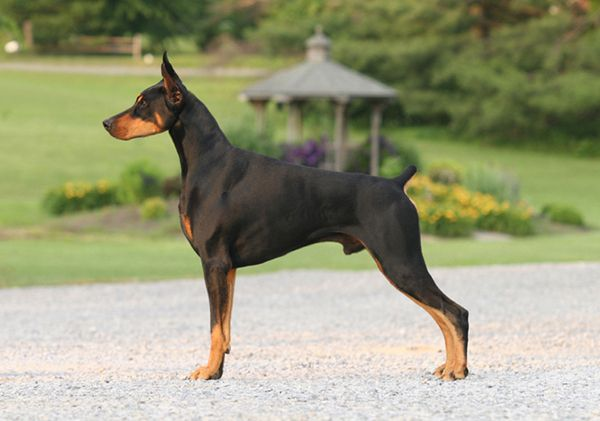 Gch Holly Wood S Dynasty A Stunning Black Dobe When I Picture