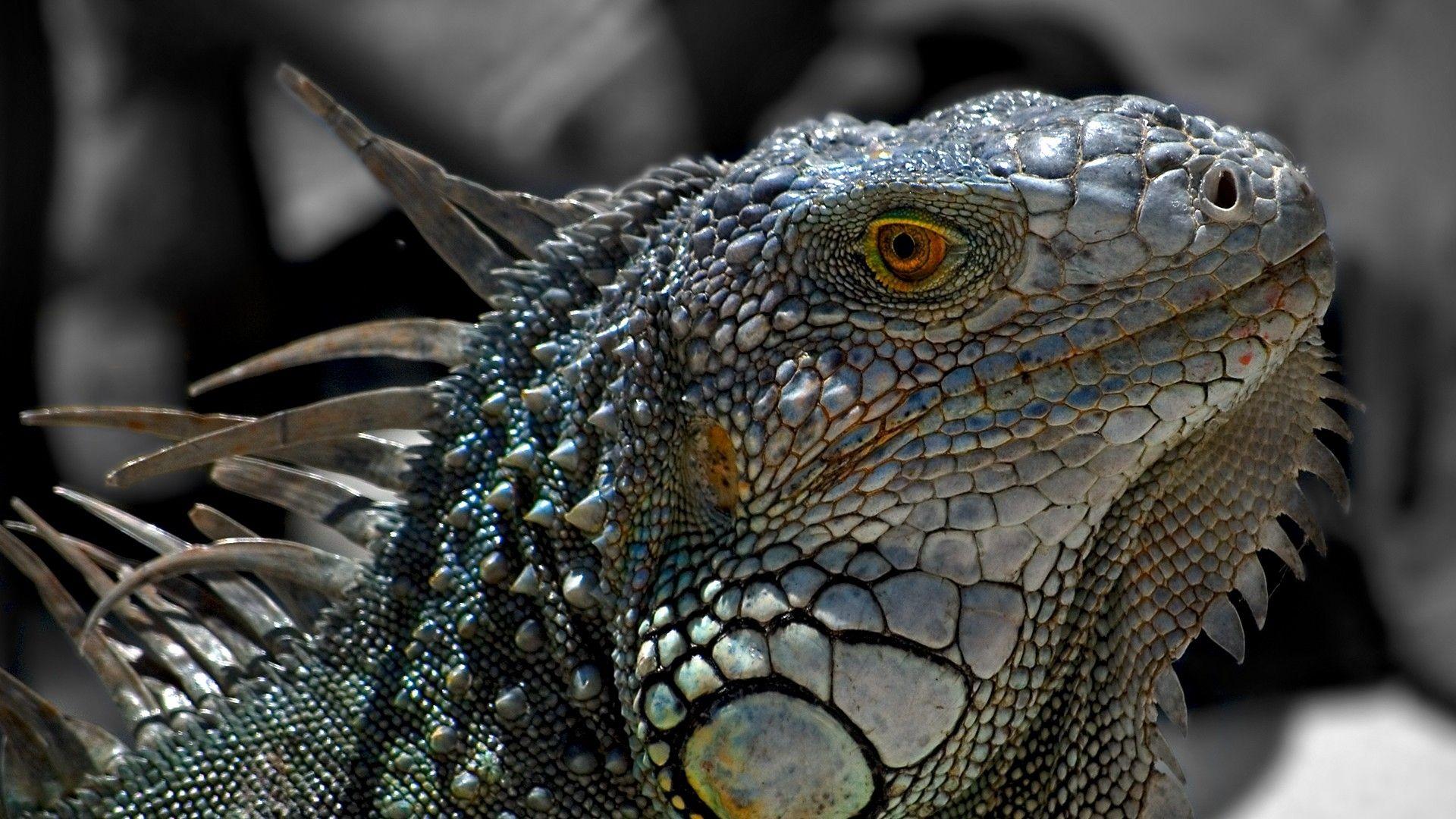 Reptiles Iguana Macro Lizards Close Nature Animals Id