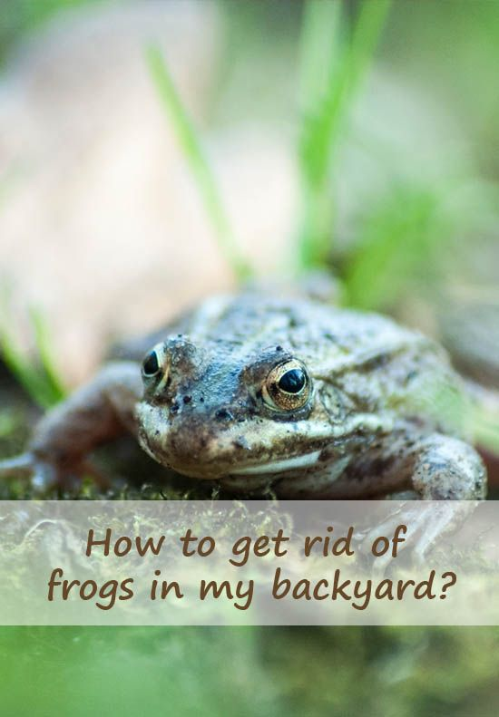 How to get rid of frogs in my backyard? in 2020 | Frog ...