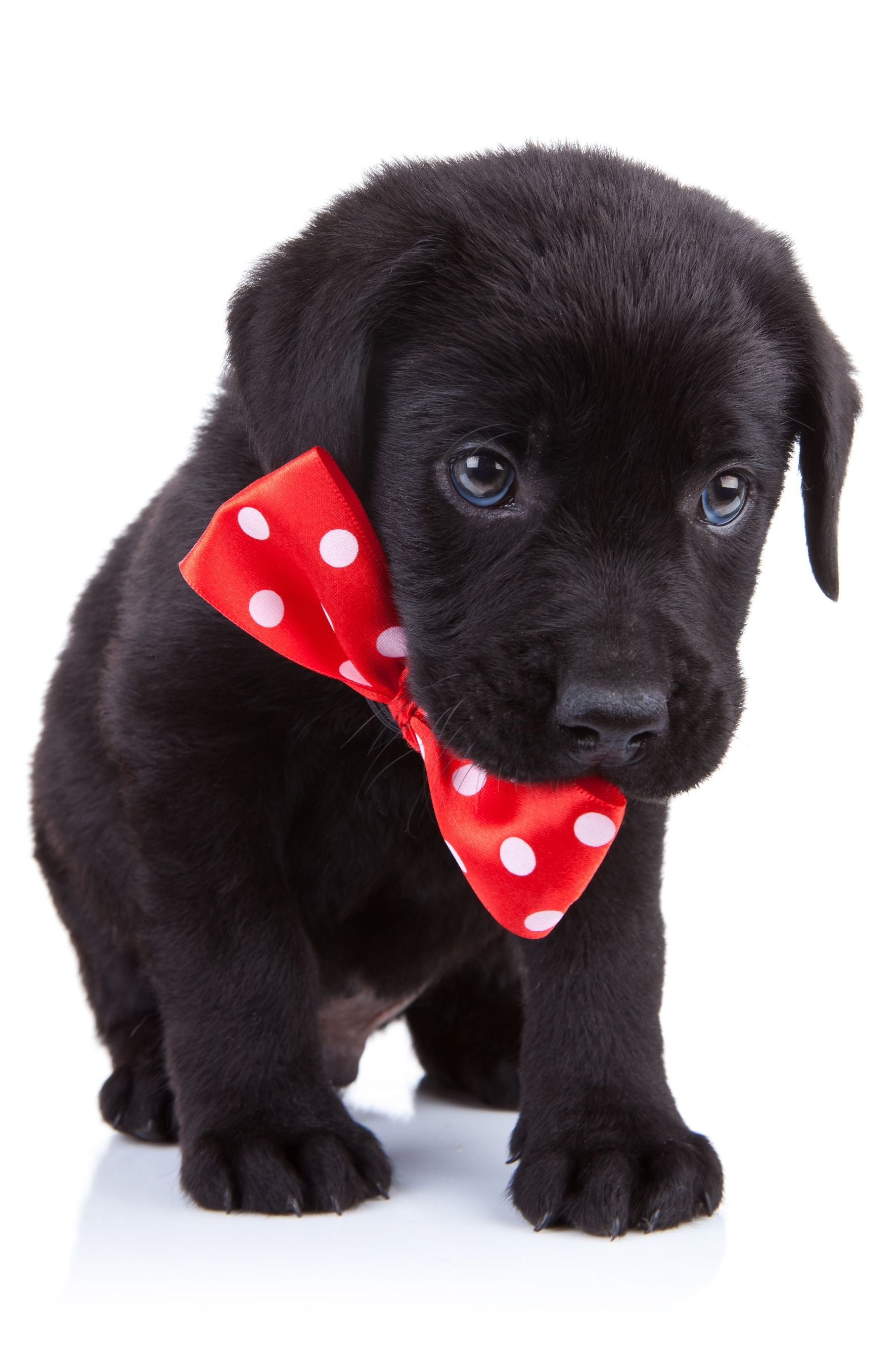 Read Before You Give A Puppy For A Christmas Present Labrador Retriever Labrador Retriever Puppies Puppy Dog Eyes
