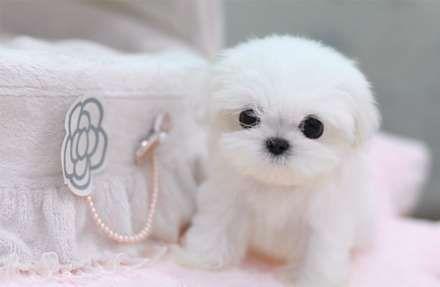 Teacup Shih Tzu Puppy Cute Baby Animals Cute Animals