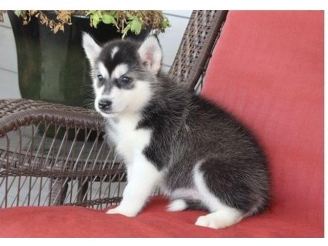 Siberianhuskypuppiesforsale Husky Puppy Siberian Husky Puppies