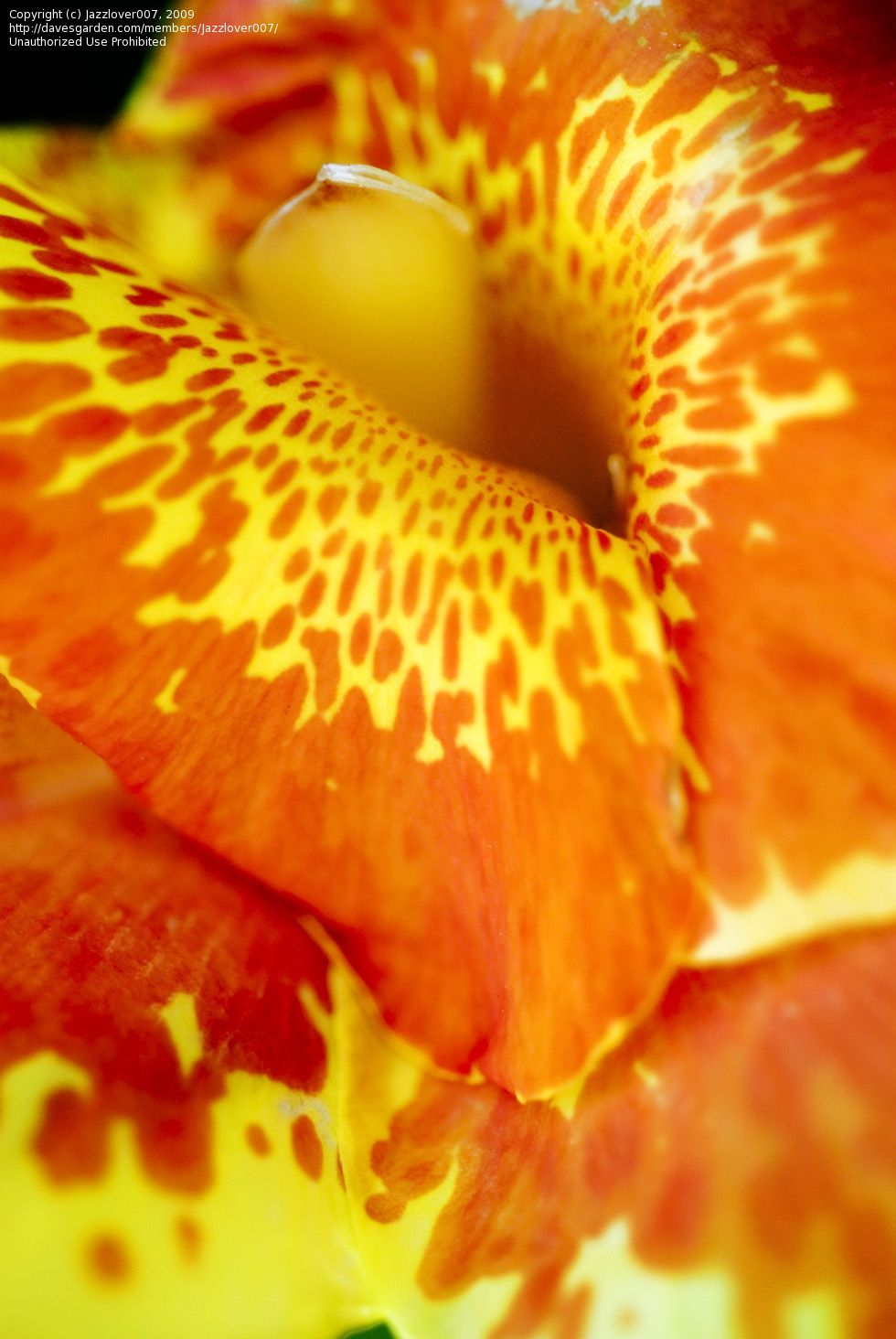Full size picture of Canna Lily 'Florence Vaughan' (<i>Canna x generalis</i>)