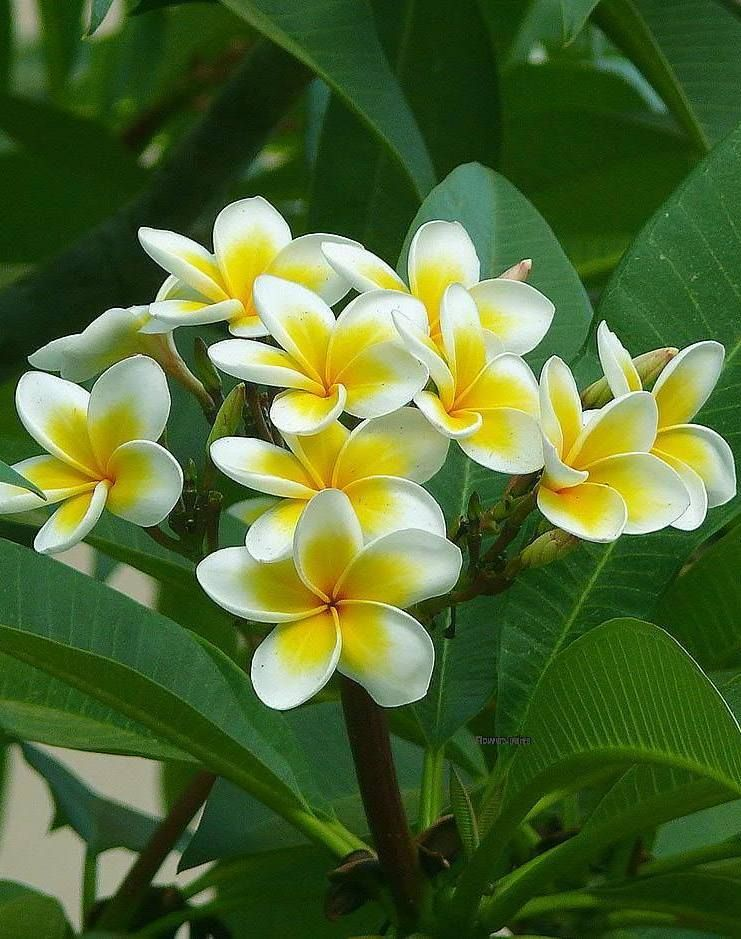 Aloha Plumeria Flowers Plumeria Tree Frangipani