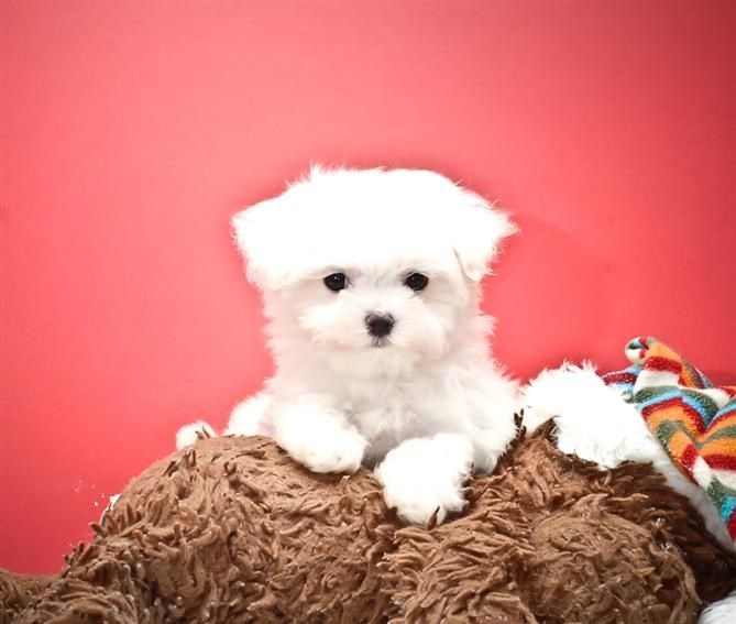 Teacup Maltese Puppy Maltese Puppies For Sale Maltese Dogs Puppies