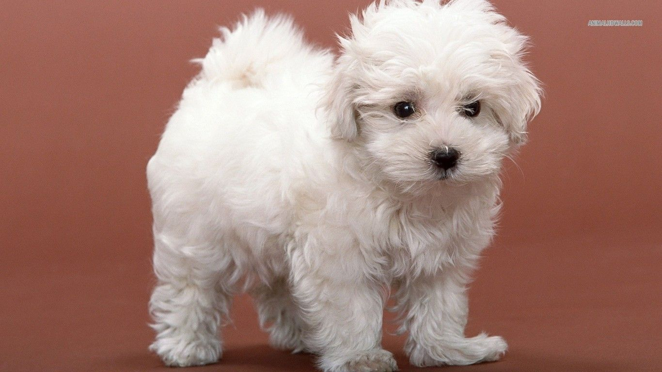 Bichon Frise Puppy Wallpaper Really Cute Dogs Bichon Frise Puppy Fluffy Dogs