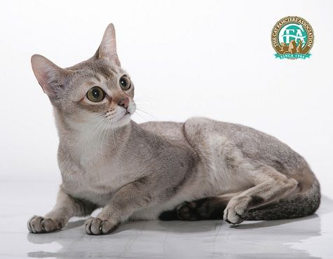 Singapura Described As The Chihuahua Of Cats Meaning Stays Small