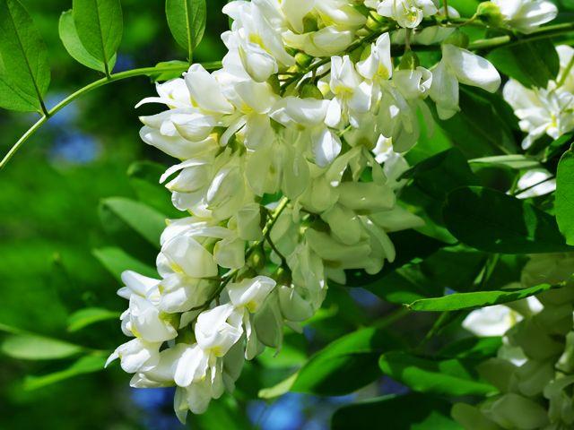 10 plantes médicinales à cueillir dans les champs - fleur d'acacia