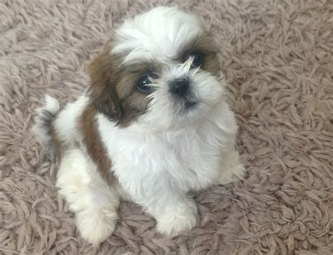 Shih Tzu High Resolution Cute Shihtzu Shih Tzu Puppy Baby Shih Tzu Shih Tzu
