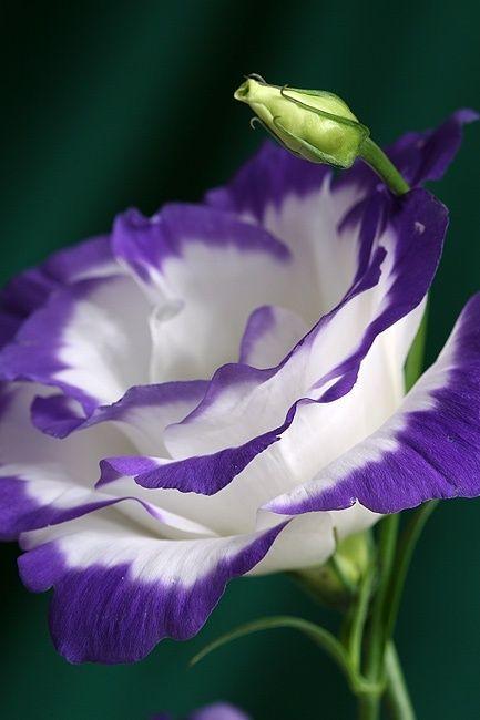 Fiori Bianchi Viola.Balboa Blue Lisianth Flowers Coltivare I Fiori