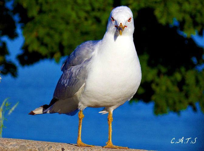 Seagull - Lake Ontario.