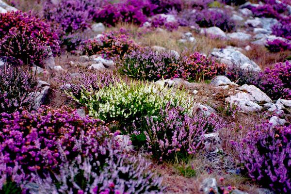 More Beautiful Heather My New Favourite Plant Heather Gardens Rockery Garden Heather Plant